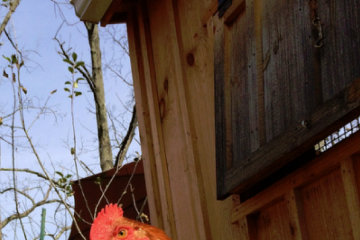HOMEMADE CHICKEN COOPS - IMPORTANT TIPS FOR BEGINNERS