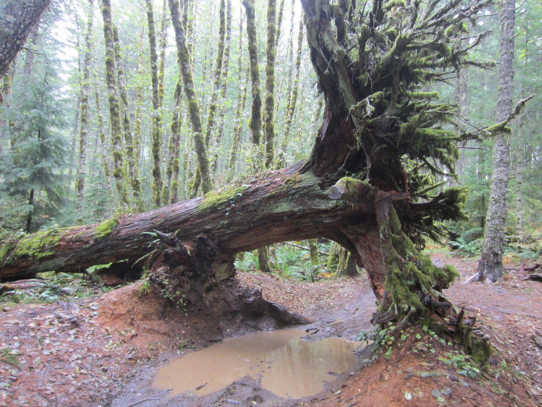 Cedar Tree / Tillamook State Forest - Waypoint 7: Fallen Cedar Tree