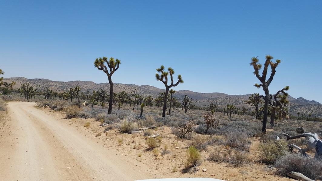 Rattlesnake Canyon - RC3331 - Waypoint 5: Joshua Tree Forest