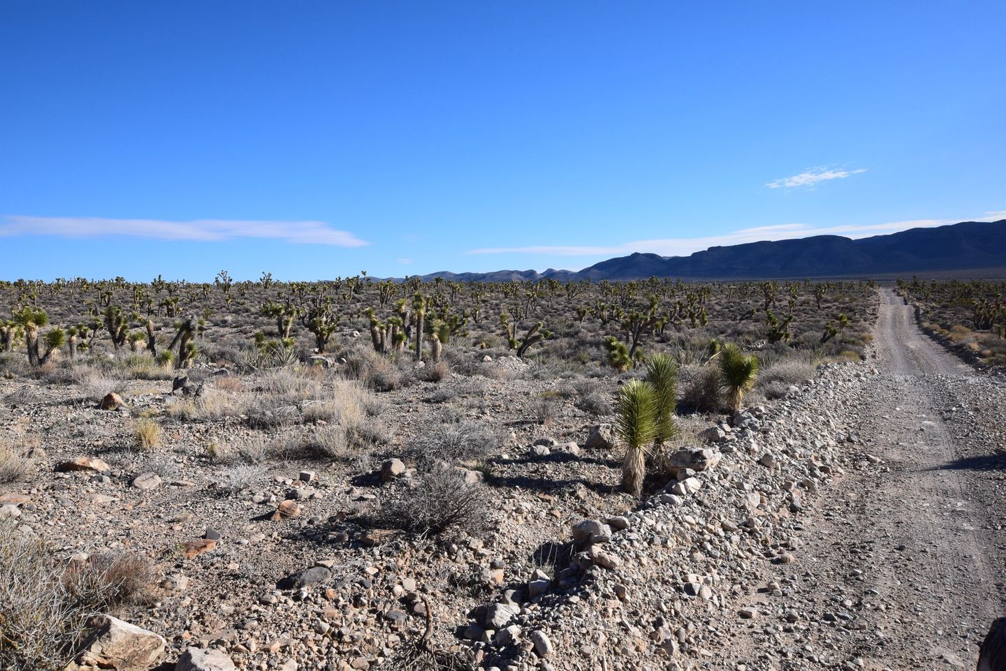 Mormon Well Road - Waypoint 5: Yucca Forest