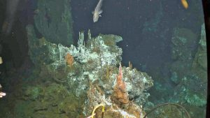 A rattail fish, 1500 m water depth, investigates the ROV Jason looking at a small chimney complex by the 16 m-tall chimney called El Guapo. Credit: UW/NSF-OOI/WHOI, V18.