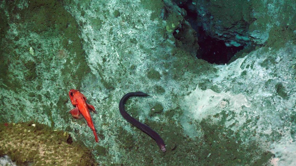 A hag fish (purple) and rock fish (orange) are on white bacterial mats in the near Einsteins' Grotto. The hole in the upper right is formed when vigorous emission of methane-rich bubbles form plumes and blow out sediment. Credit: UW/NSF-OOI/WHOI, V18.