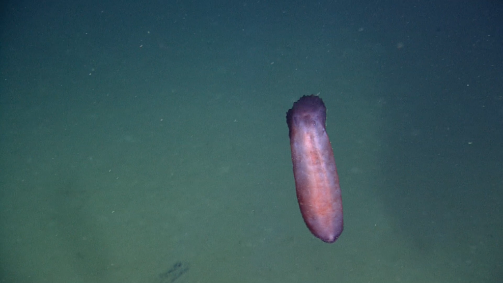 "This particular sea cucumber was seen near the seafloor at Slope Base, ""swimming"" in the water column at a depth of 2897 m, just above the seafloor.  It looked purplish-brown from a distance, and closer it looked purplish-pink. Photo Credit: NSF-OOI/UW/CSSF; Dive 1757; V14"