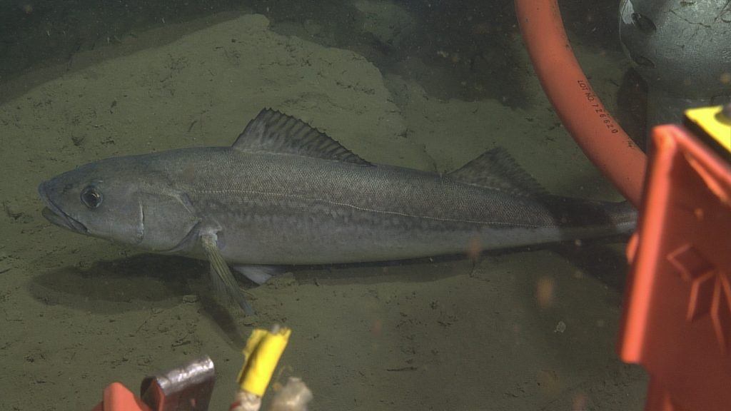 Sablefish range from 30 cm to 61 cm in length. They can live up to 90 years with one fish having been documented living 94 years. Multiple sablefish were seen along the seafloor at 580 m down at the Oregon Off Shore site. Photo Credit: NSF-OOI/UW/CSSF; Dive 1770; V14