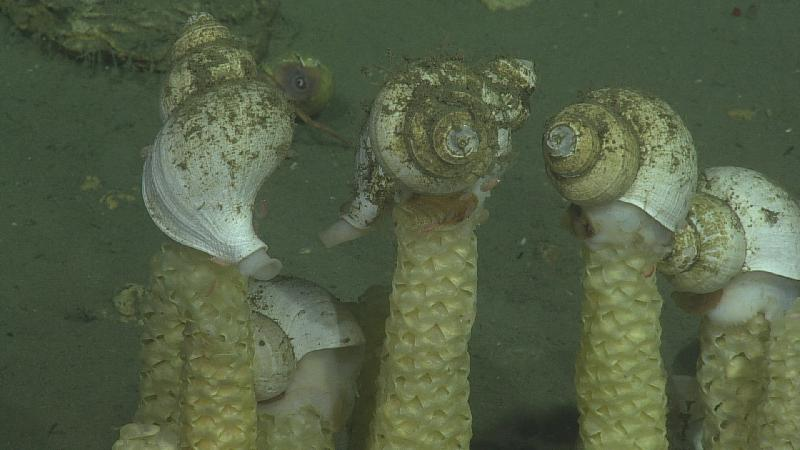 These snails lay eggs in a spiral tower and the adult snail sits on top of the tower waiting for the eggs to hatch. The snails were all clustered together along a cable route SUM1W2 at Southern Hydrate Ridge. We did not see the snails at any location other than here. The depth at this location was 776 m. Photo Credit: NSF-OOI/UW/CSSF; Dive 1758; V14
