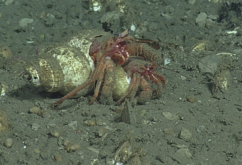 Hermit crabs belonging to the genus Pagurus use snail shells as homes. There are over 170 species of hermit crab in this genus. These two hermit crabs were seen at Southern Hydrate Ridge at depth of 774 m. The species was unable to be identified. Photo Credit: NSF-OOI/UW/CSSF; Dive 1750; V14