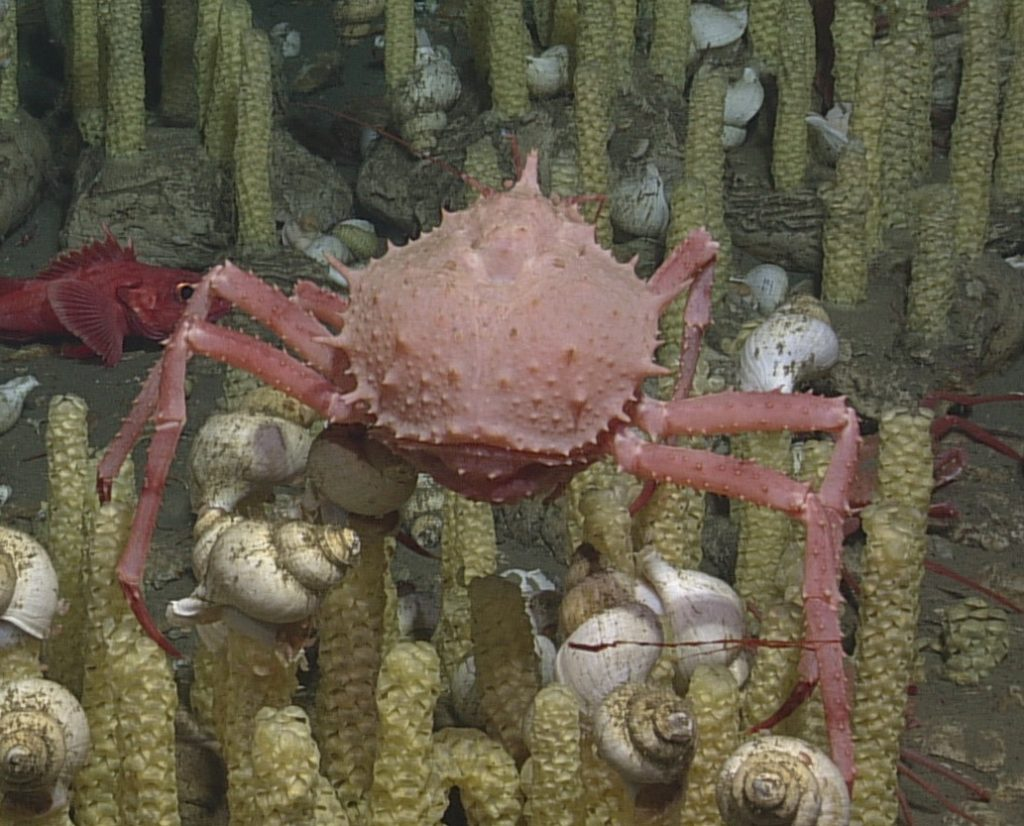 The Scarlet King Crab was seen at multiple locations along Hydrate Ridge. It was often found in sandier substrate, however it was also found among a large group of snails. Photo Credit: NSF-OOI/UW/CSSF; Dive 1758; V14