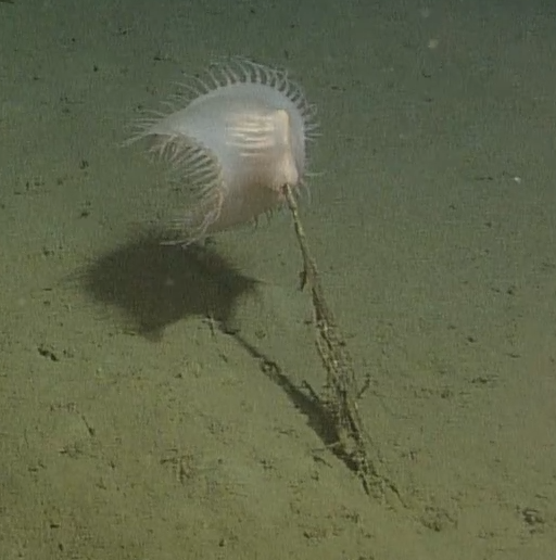 "The Venus Flytrap Anemone resembles the carnivorous plant found on land. It is a member of the family ""Actinoscyphiidae"", but it is unknown as to how many species there are. This anemone was seen at Slope Base at a depth of 2900 m rooted in the sediment on the seafloor. Photo Credit: NSF-OOI/UW/CSSF; Dive 1757; V14"