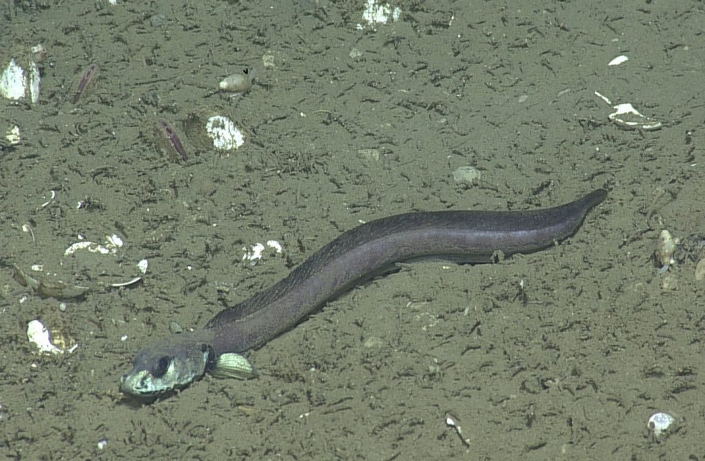 Eelpouts have been spotted at Southern Hydrate Ridge and around the FLOBN-MOS1 site at about 775 m below the sea surface. Photo Credit: NSF-OOI/UW/CSSF; Dive 1784; V14