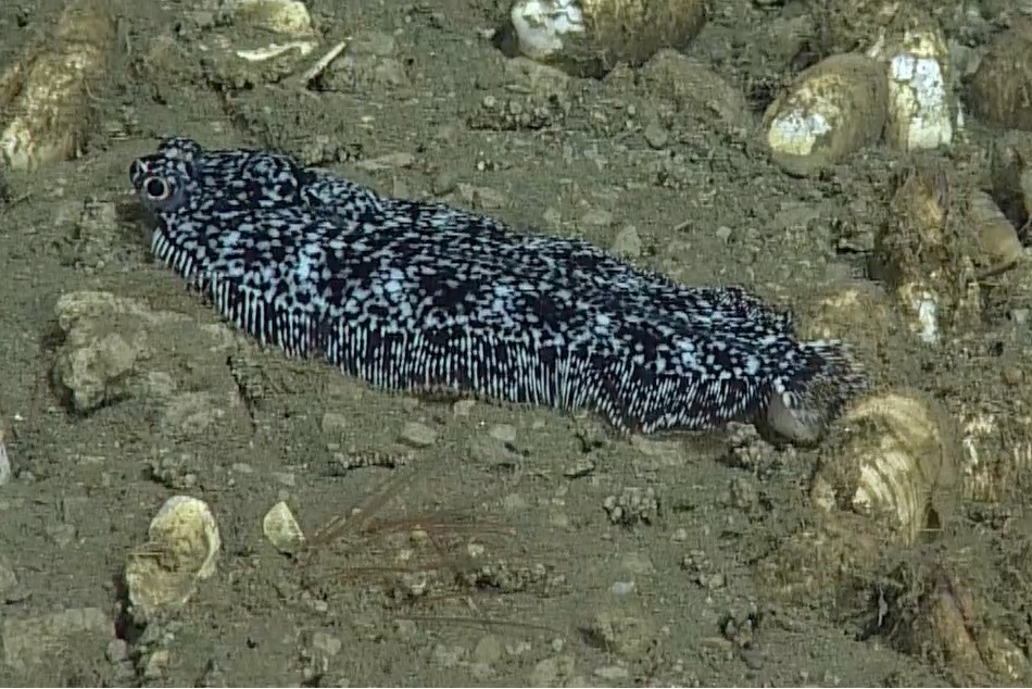 This Sole was found at Hydrate Ridge at about 780 m along the sediment. Photo Credit: NSF-OOI/UW/CSSF; Dive 1765; V14