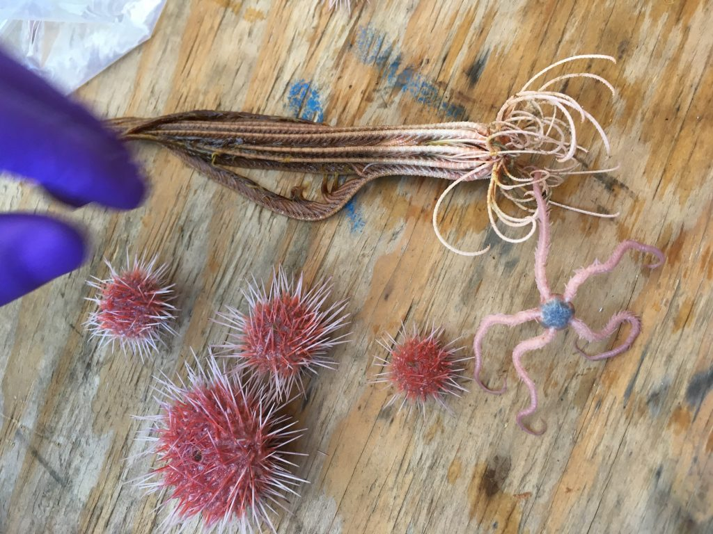 Brittle Stars, crinoids and sea urchins recovered from the Shallow Profiler Mooring packages at the Oregon Offshore site. Credit: Hanis Zulaikha, University of Washington.