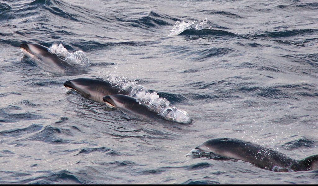"Dahl dolphins ""play"" alongside the ship on one of our previous cruises. Credit: M. Elend, University of Washington."