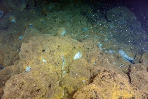 White, filamentous bacteria thrive in warm fluids being emitted from the 3-month old lava flow on the Northern Rift of Axial Seamount, April 24th, 2015. Credit: NSF-OOI/UW/ROPOS; V15.
