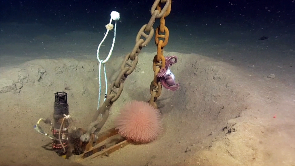 A very large anemone and octopus call the anchor of the Slope Base Shallow Profiler Mooring home. Credit: NSF-OOI/UW/ISS; V15 ROPOS Dive R1848.