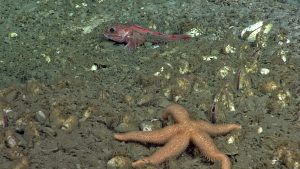 A rockfish and starfish are intermixed with clams near a bacterial mat on the methane seep site, Southern Hydrate Ridge during ROPOS Dive R1850. Credit: NSF-OOI/UW/ISS, V15.