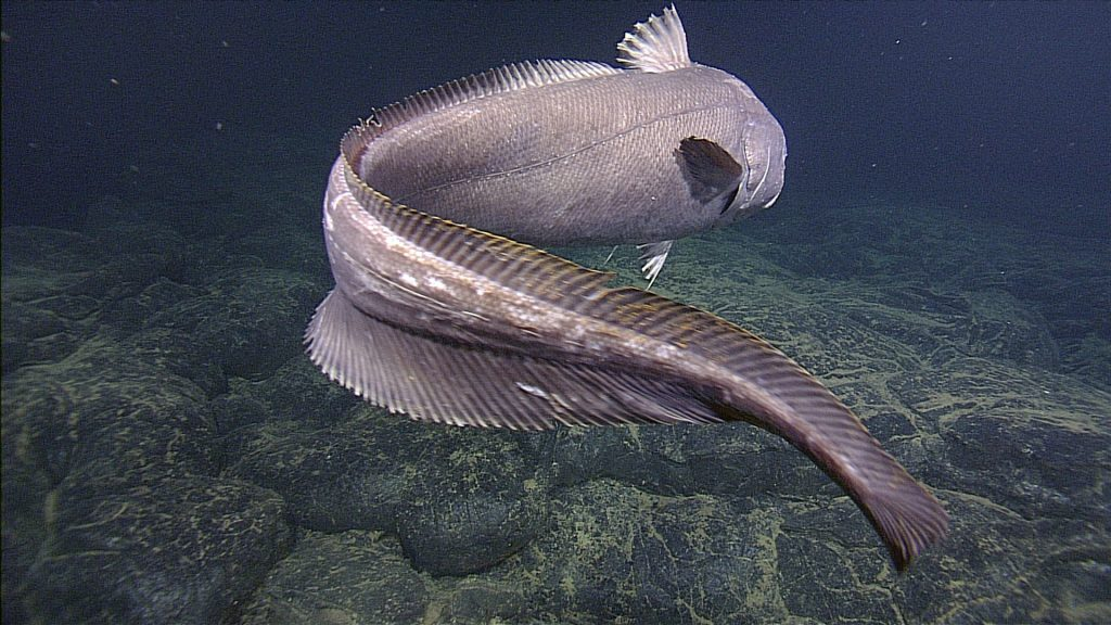 A huge rattail, ~ 5 feet in length, swims slowly in front of the ROV ROPOS near the International District Hydrothermal Field at a depth of 5000 ft beneath the ocean's surface. This area has a higher abundance of these fish than observed elsewhere in the caldera, perhaps because of the larger size of the vent field and hence food source.