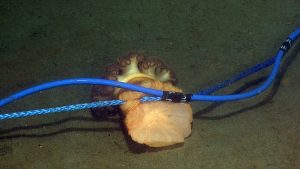 An orange anemone clinging to the hydrophone cable at the Oregon Shelf site. The hydrophone was only deployed roughly a week before, so this anemone found the hard substrate and attached itself fairly quickly.  	   	Photo Credit: NSF/UW/CSSF, Dive R1801, V14