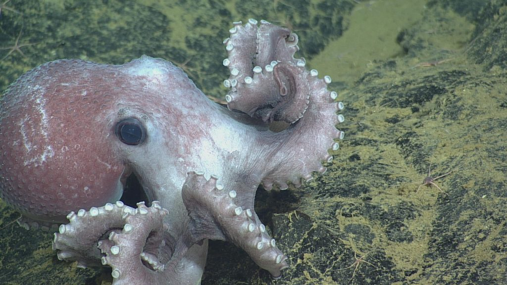 Graneledone pacifica octopus at Axial Seamount