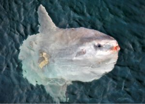 Mola mola, of sunfish are the heaviest known bony fish. They can weigh >2000 lbs - they mainly eat jellyfish. Photo Credit: Billy Medwedeff, University of Washington; V14.