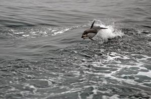 A pod of dolphins surf the waves alongside the R/V Thompson as it was in transit. Photo Credit: Mitch Elend, University of Washington, V14.