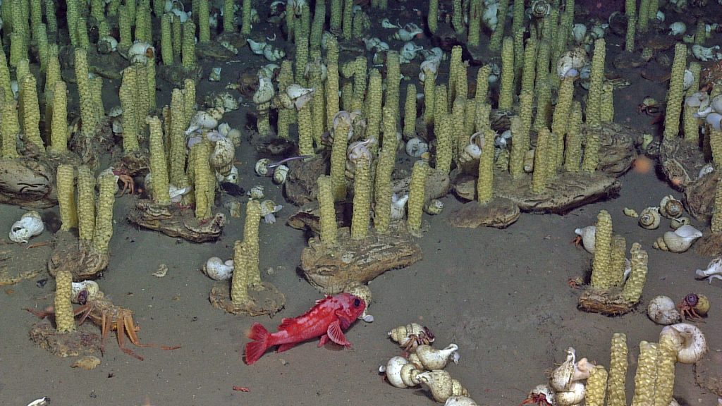 A rockfish and hemit crabs hang out in a nursery of Neptunea snails at the summit of Southern Hydrate Ridge.The snail stalks rise from small carbonate cobbles. Photo credit: NSF-OOI/UW/CSSF; Dive R1766; V14.