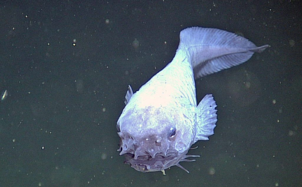 This strange fish, Genioliparis ferox (Stein), was first described in 1978 from a single specimen and never seen afterwards. It was imaged at 2901 m at the Slope Base Site during ROPOS Dive R1757. G. ferox is a ferocious mid-water predator, with many sharp teeth.  Photo Credit: NSF-OOI/UW/CSSF; Dive R1757; V14
