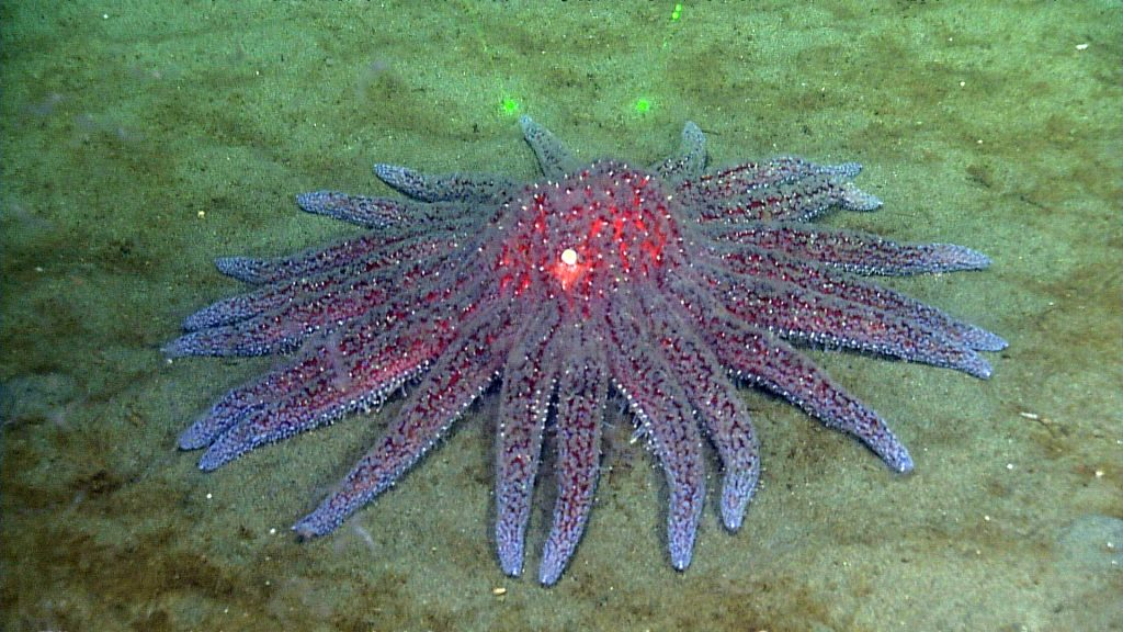 A Sunflower sea star (Pycnopodia) encountered during a site survey at the Endurance Oregon Shelf site (80 meters)  	Photo Credit: NSF-OOI/UW/CSSF, Dive R1756, V14