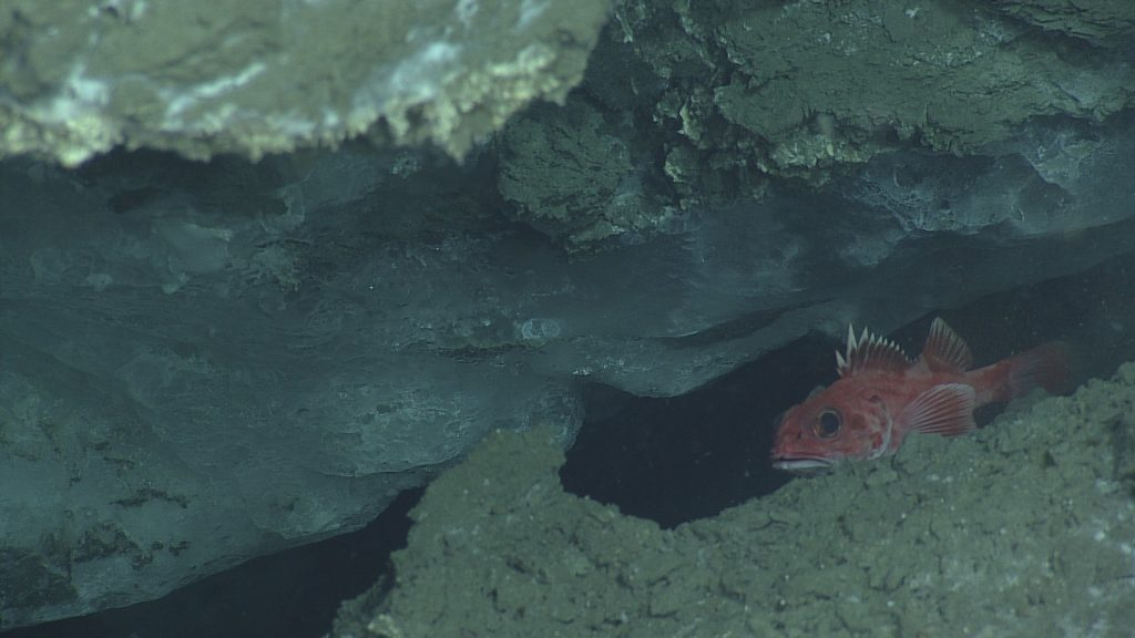 Exposed gas hydrate (a clathrate of water ice that forms around methane) observed in Einstein's Grotto at the Southern Hydrate Ridge summit. Large bubbles were seen escaping intermittently from the crevice, indicating an active methane seep. A rockfish is sheltering within the grotto as well.  	Photo Credit: NSF-OOI/UW/CSSF, Dive R1754, VISIONS14