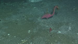We encountered a little piece of Monterey Bay Aquarium Research Institute (MBARI) at Hydrate Ridge during survey dive R1754. The flamingo has seen better days, but it is also now hosting some invertebrate friends.  	Photo Credit: NSF-OOI/UW/CSSF, Dive R1754, VISIONS14