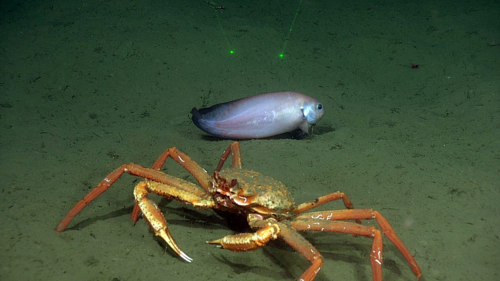 A crab and snailfish encountered during a site survey between the Endurance Oregon Offshore 2-legged mooring EOM leg anchor and the low-voltage node LV01C. The scaling laser dots are 10 cm apart.  	Photo Credit: NSF-OOI/UW/CSSF, Dive R1752, V14