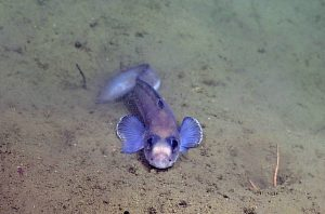 An eelpout fish encountered during a site survey between the Endurance Oregon Offshore 2-legged mooring EOM leg anchor and the low-voltage node LV01C.  	Photo Credit: NSF-OOI/UW/CSSF, Dive R1752, V14