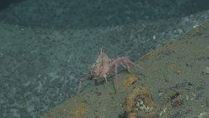 A spiny pink crab (missing a rear leg) seen at Hydrate Ridge, near Einstein's Grotto.  	Photo Credit: NSF-OOI/UW/CSSF, Dive R1750, V14
