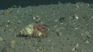 A pair of hermit crabs (possibly mating?) at Hydrate Ridge, near Einstein's Grotto.  	Photo Credit: NSF-OOI/UW/CSSF, Dive R1750, V14