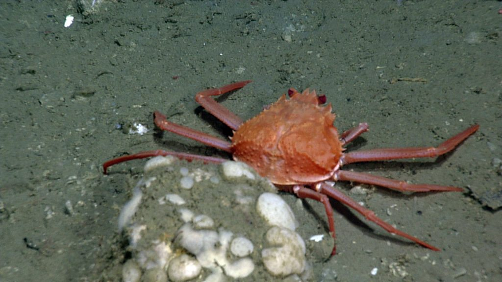 Crab sitting near carbonate cobble at the summit of Southern Hydrate Ridge. Photo credit: NSF-OOI/UW/CSSF; Dive R1750; V14.