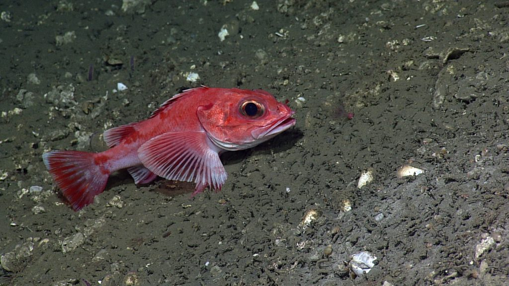 A rockfish (possibly a Pacific Ocean perch) rests near Eistein's Grotto at Southern Hydrate Ridge. Photo credit: NSF-OOI/UW/CSSF; Dive R1750; V14
