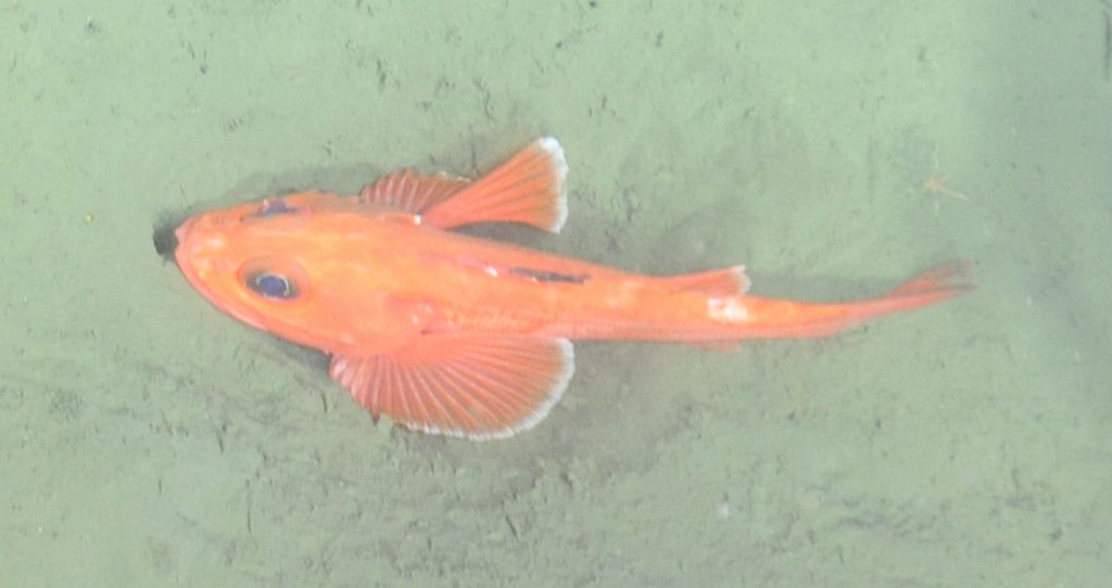 A rockfish (Pacific Ocean perch) encountered during a cable lay survey at Endurance Offshore, 600m depth  Photo Credit: NSF-OOI/UW/CSSF, Dive 1743, V14