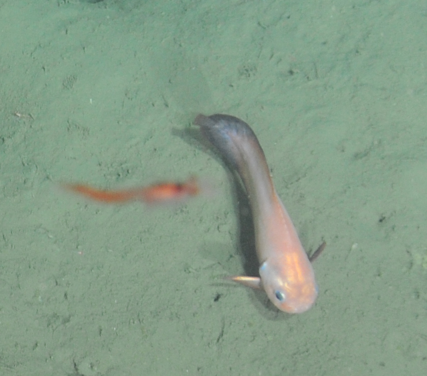 A closeup of a Blacktail Snailfish (Careproctus melanurus) encountered during a cable lay survey at Endurance Offshore, 600m depth  	Photo Credit: NSF-OOI/UW/CSSF, Dive 1743, VISIONS14