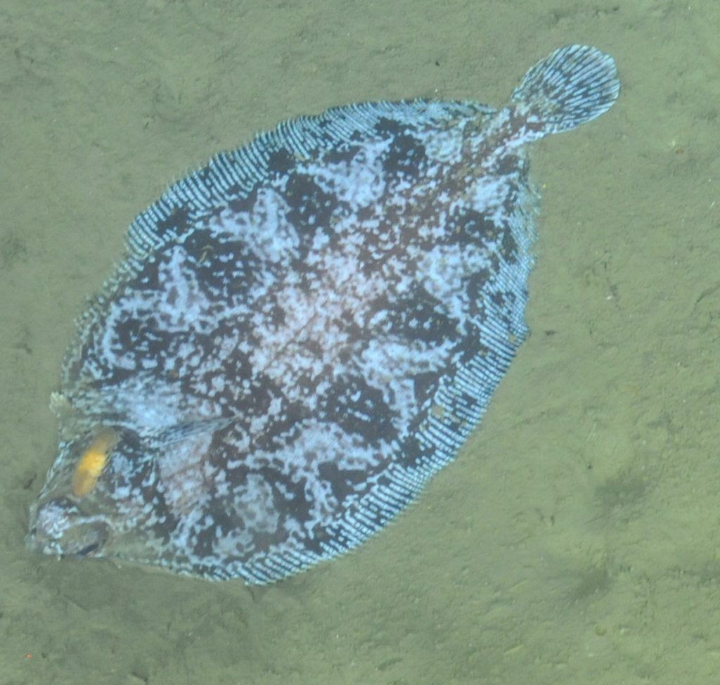 A Deepsea sole (Embassichthys bathybius) encountered during a cable lay survey at Endurance Offshore, 600m depth  Photo Credit: NSF-OOI/UW/CSSF, Dive 1743, V14