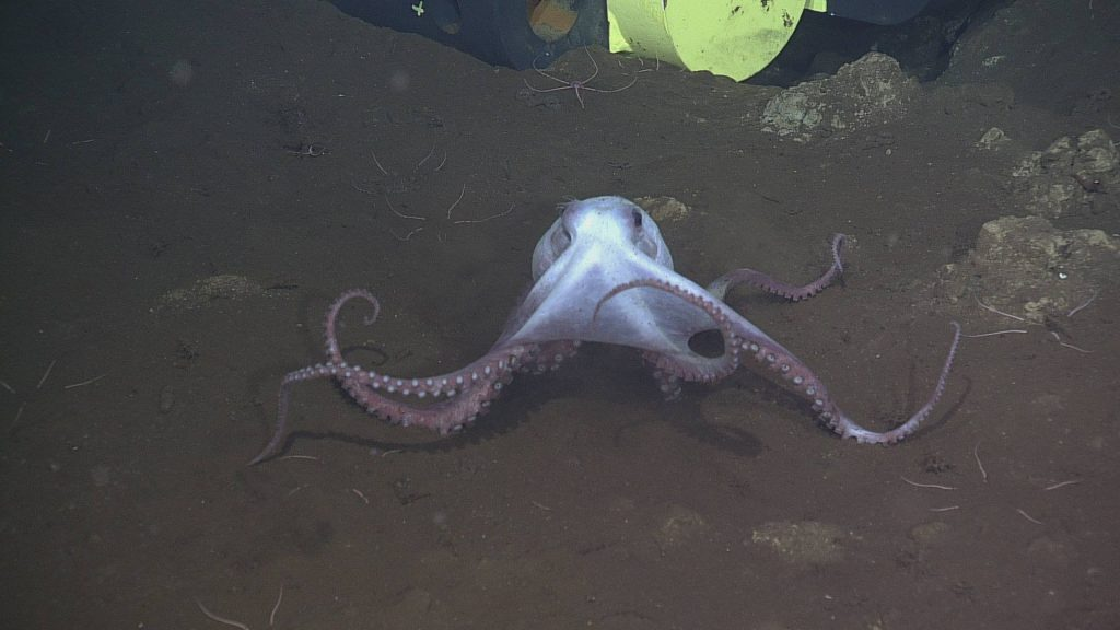 A Graneledone pacifica octopus smiles for the ROPOS camera
