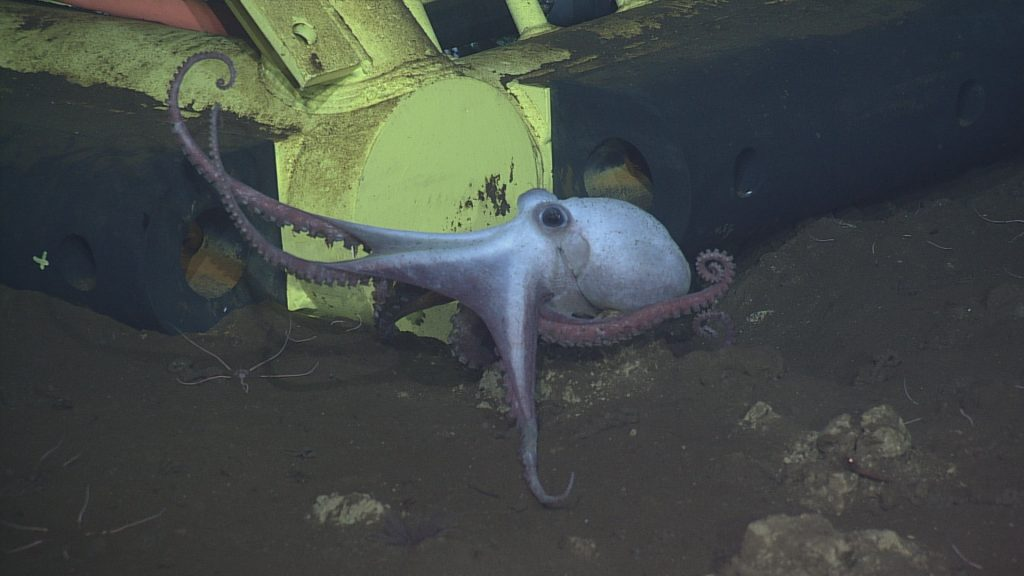 An octopus hanging out next to primary node PN3A at Axial Base, 2600 meters deep.  	Photo Credit: NSF-OOI/UW/CSSF, Dive 1742, V14