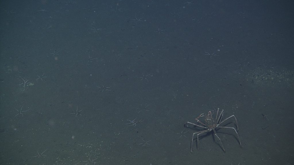 A spider crab encountered at the Axial Base site (2600m deep) during a cable survey.  	Photo Credit: NSF-OOI/UW/CSSF, Dive 1739, V14