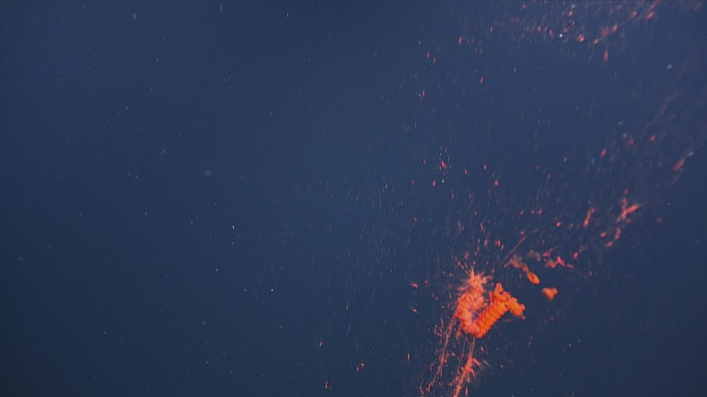 A red siphonophore encountered during the descent to the Axial Base site, at 729 meters depth.  Photo Credit: NSF-OOI/UW/CSSF, Dive 1738, V14