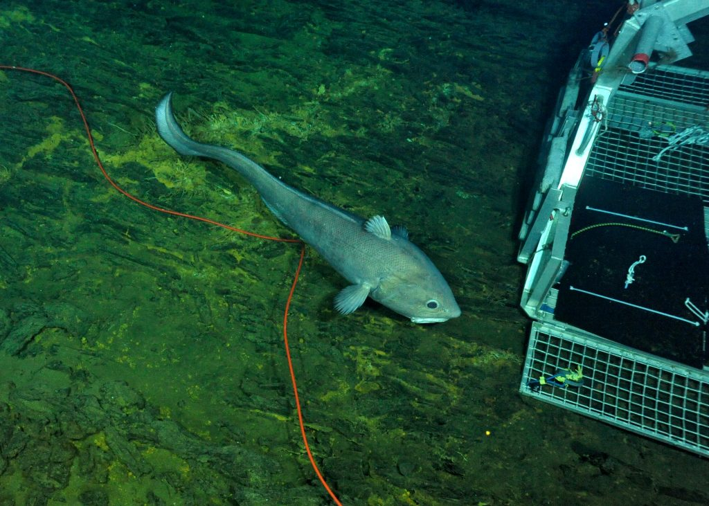 This giant rattail is more than 1 m in length. Photo credit: NSF-OOI/UW/CSSF; Dive R1729; V14