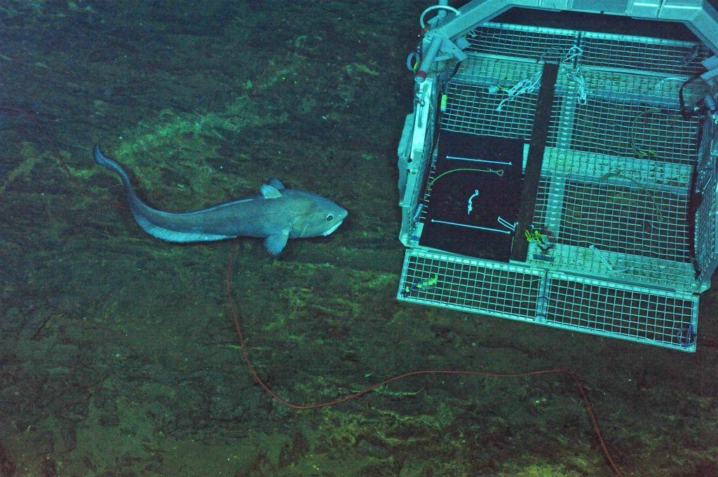A huge rattail fish followed the ROV ROPOS around the International District hydrothermal field for several hours. Near the end of the dive it investigated the tool basket, with thoughts that it might get in. Photo credit: NSF-OOI/UW/CSSF; Dive 1729; V14.