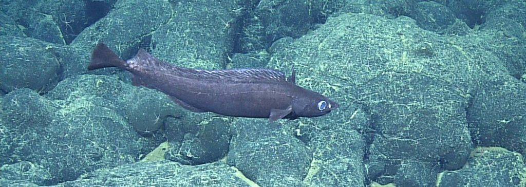 Pacific Flatnose (Antimora microlepis) at Axial Seamount. Photo credit: NSF-OOI/UW/CSSF; Dive R1720; V14