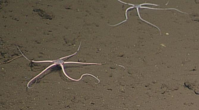 This species is not yet identified, although it may also be Spinophiura jolliveti. It is the dominant brittle star at the base of Axial. Photo credit: NSF-OOI/UW/CSSF; R600; V13