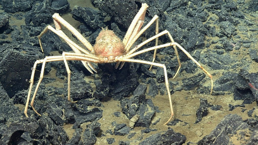 A rear view of the Spider Crab Macroregonic macrochira at Axial Seamount. Photo credit: NSF-OOI/UW/CSSF; Dive R1727; V14
