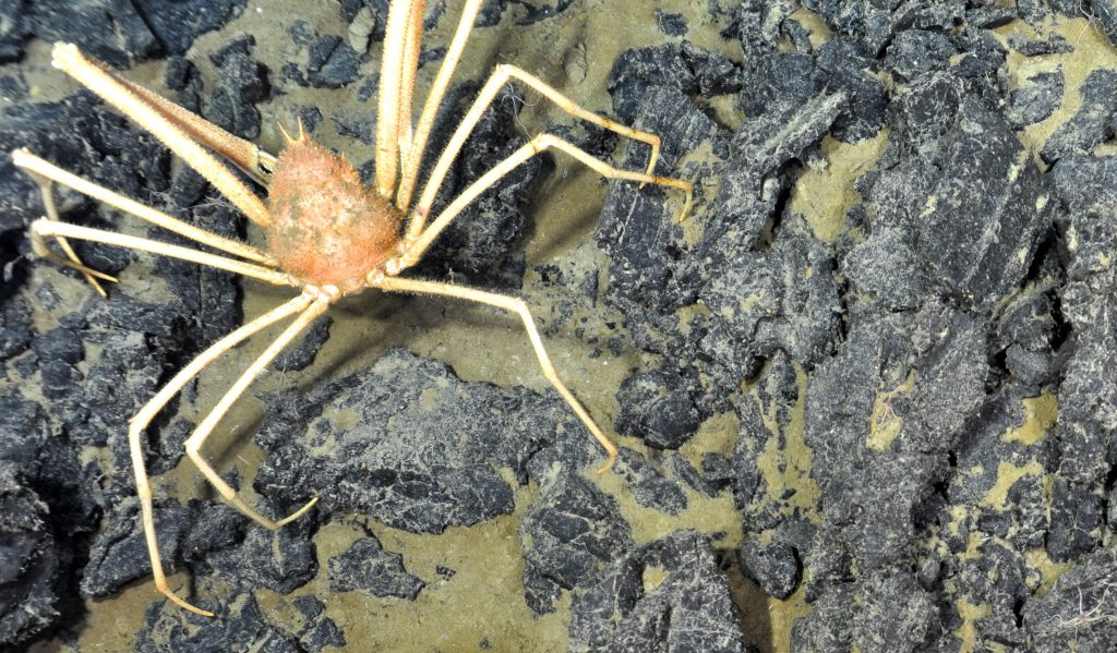 The spider crab Macroregonic macrochira is very common at Axial Seamount. Photo credit: NSF-OOI/UW/CSSF; Dive R1727; V14