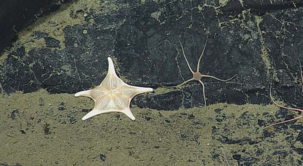 Seastars (Class Asteroidea) and Brittle Stars (Class Ophiuroidea) belong to Phylum Echinodermata. Photo credit: NSF-OOI/UW/CSSF; Dive R1727; V14