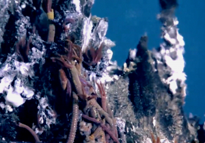 Palm Worms at top of El Guapo. Photo credit: NSF-OOI/UW/CSSF; V11